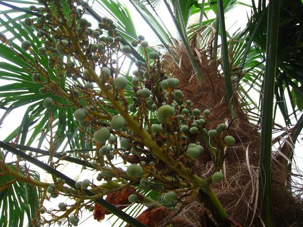 棕櫚 (実)