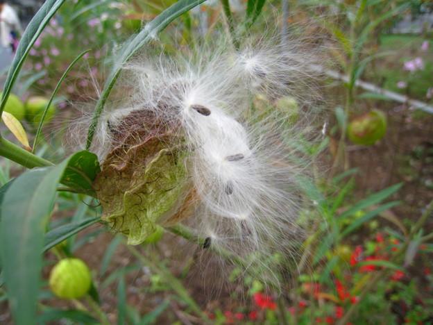 風船唐綿の綿毛