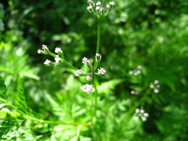 オヤブジラミ(芹科)の花