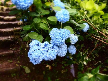 一週間ブログ132週目 【紫陽花】