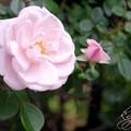 近所の薔薇<3>