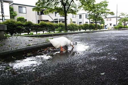 水飲み家鴨