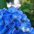 Photos: 晩夏の紫陽花