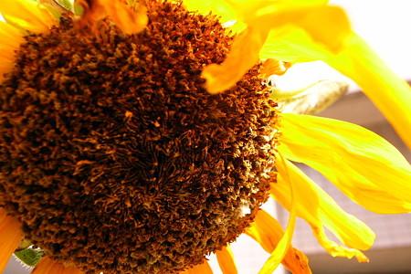 暑秋向日葵