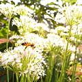 写真: 韮花と蜂