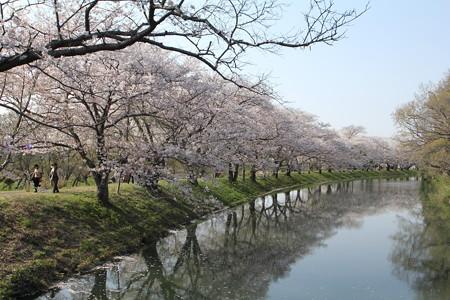 福岡堰の桜並木