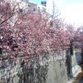 Photos: 目黒川沿いの桜