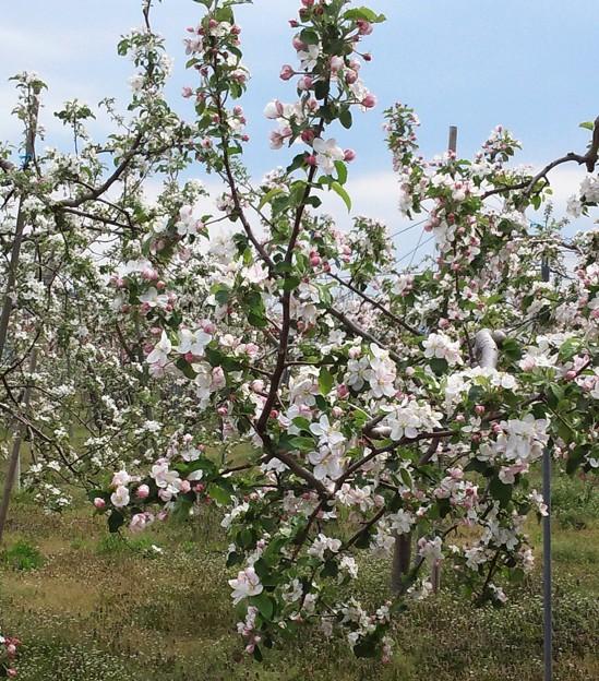 Photos: リンゴの花3