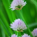 Chives 6-16-12