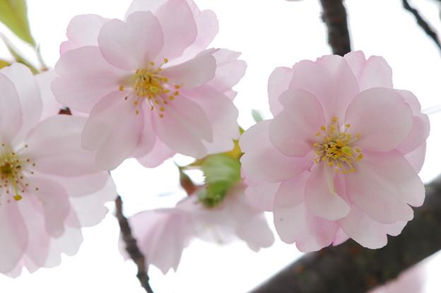 Photos: Accolade Cherry 5-10-14
