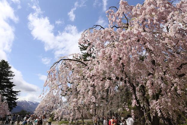 Photos: GW東北旅行 弘前城の桜と津軽富士