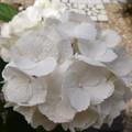 Photos: 白くなった「ゼブラ」