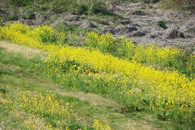 写真: 河川敷の菜の花