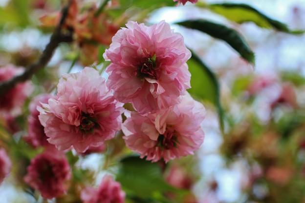 尾山神社菊桜 IMG_0732