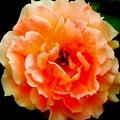 薔薇 >>: 万葉 IMG_1263
