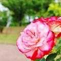 薔薇 >>: ジュピレ デュ プリンセス ドゥ モナコ IMG_1271