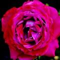 薔薇 >>: ブルーリバー IMG_1297