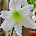 花 >>: アマリリス IMG_5623