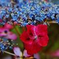 花 >>: 額紫陽花 (ベニガクアジサイ)#2 IMG_5784
