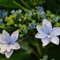 花 >>: 紫陽花(墨田の花火)#2 IMG_5793