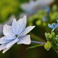 花 >>: 紫陽花(墨田の花火)#3 IMG_5828