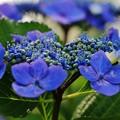 花 >>: 額紫陽花 #12  IMG_5845