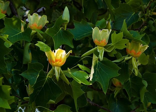P5097988s百合の木の花3