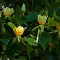 Photos: P5097988s百合の木の花3