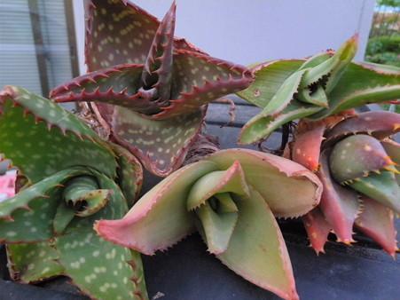Aloe hybrid plants