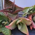 写真: Aloe hybrid plants
