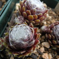 写真: Sempervivum 'Smith's seedling'