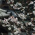 写真: 円覚寺にて 桜