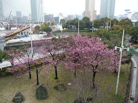090401-MM21の桜 (6)