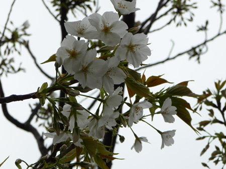 090401-MM21の桜 (5)