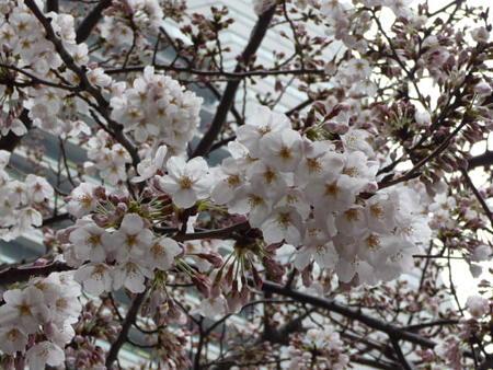 090401-MM21の桜 (1)