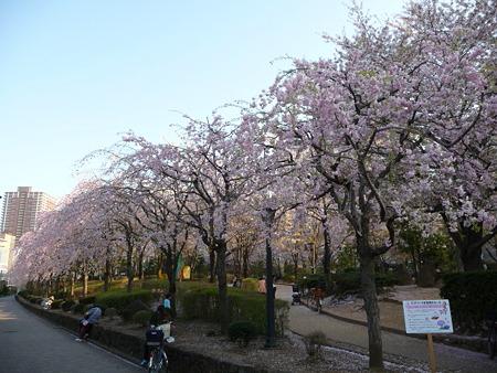 090409-川口駅の桜 (8)