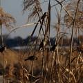 写真: 岸辺のスズメ達