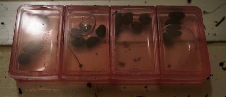 一日水につけた種