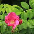 写真: 平和公園・ハマナス01-12.07.09