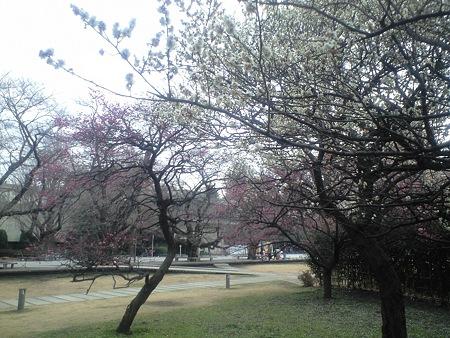 東工大 梅の花