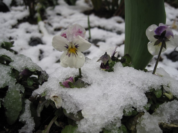 IMG_1707-雪の華