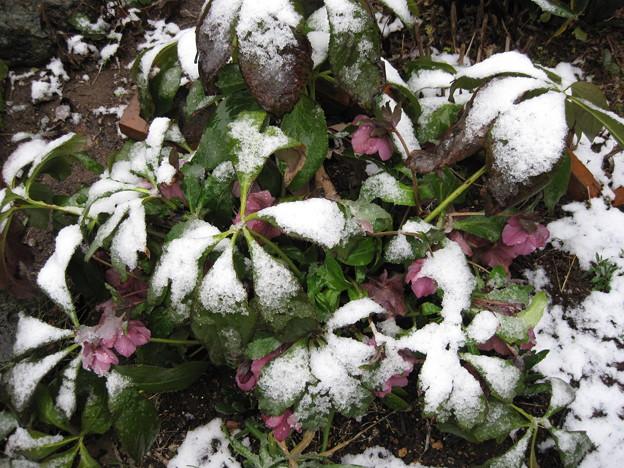 IMG_1710-雪の華