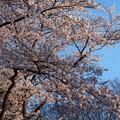 Photos: 西日差し込む桜花