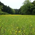 菜の花の草原1