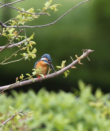 カワセミ(178)−巣篭り直前・・梅の木とまり