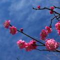 写真: 梅と空04