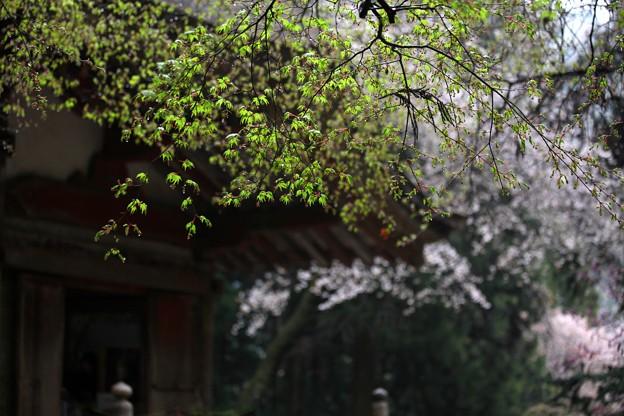 Photos: 楓の新芽も芽吹く