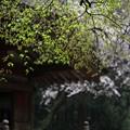 楓の新芽も芽吹く