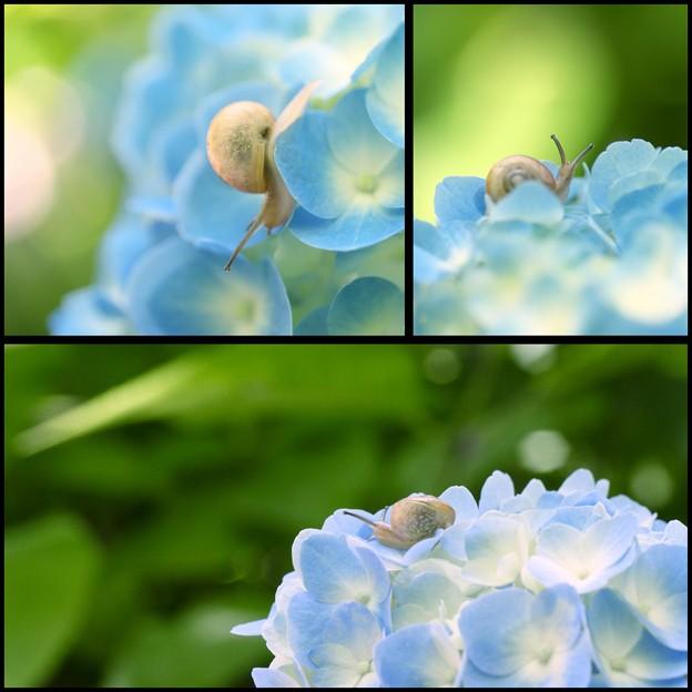 land snail on a hydrangea