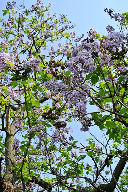 八尾市信貴山口近くの市民の森の桐の木